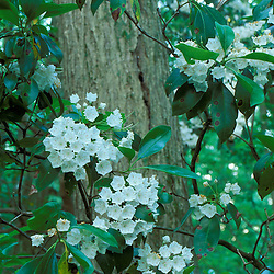 Greenwich, CT.Mountain laurel, Kalmia latifolia, in the forest at the Treetops Estate.