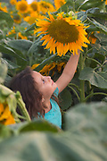 Young girl admires a large sunflower. Model release available