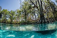 Boardwalk or viewing platform with tall trees, blue sky and crystal clear spring water. Horizontal orientation split image. Three Sisters Springs, Crystal River National Wildlife Refuge, Kings Bay, Crystal River, Citrus County, Florida USA.