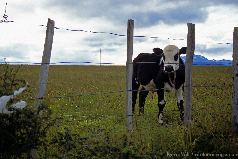 Americas, South America, Chile, Magallanes. A lonely calf and a fence.