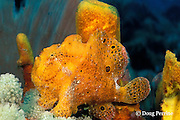 longlure frogfish or anglerfish, Antennarius multiocellatus, The Garden, Saint Vincent or St. Vincent, West Indies ( Eastern Caribbean Sea )