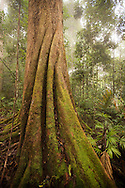 Jungle Tree with Moss, Indonesia Kalimantan Borneo