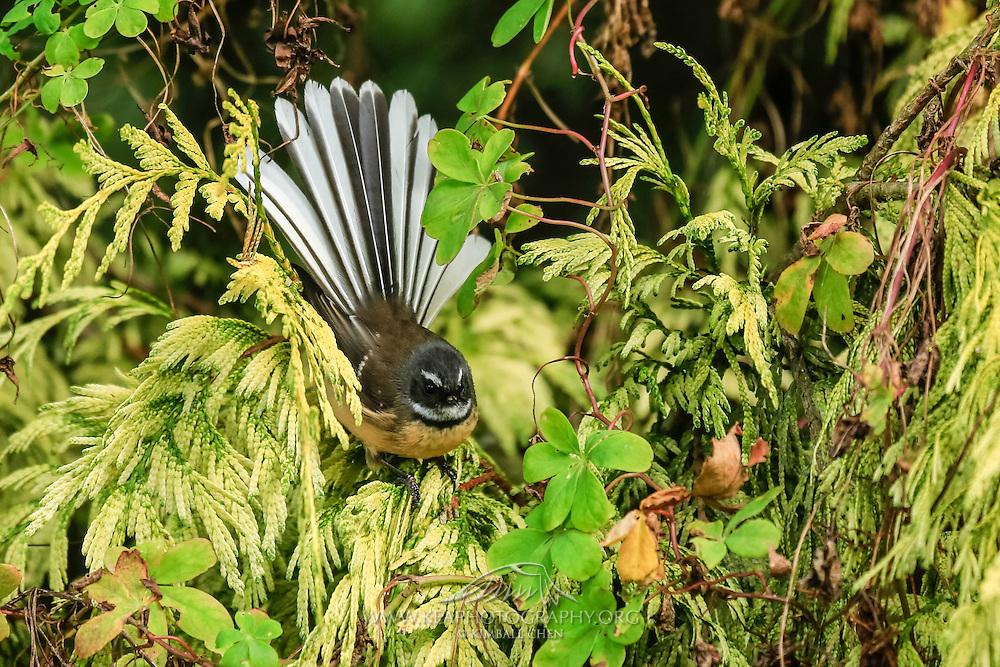 NZ Fantail displaying its beautiful fan amidst lush green foliage, Southland, New Zealand.