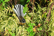 NZ Fantail displaying its beautiful fan amidst lush green foliage, Southland, New Zealand.