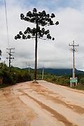 Camanducaia_MG, Brasil...Araucaria no meio de uma estrada de terra em Monte Verde...Araucaria in dirt road midle in Monte Verde...Foto: LEO DRUMOND / NITRO....