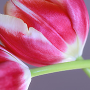 """""""Red and White Tulips""""<br /> <br /> Beautiful red and white tulip still life."""