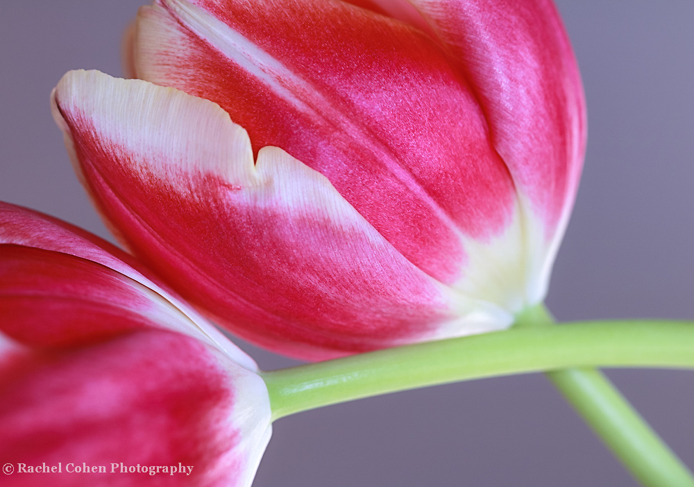 &quot;Red and White Tulips&quot;<br />