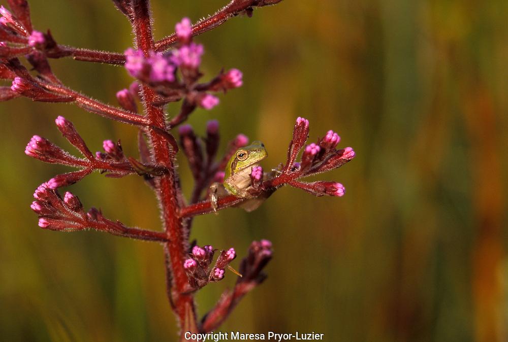 Pinewoods treefrog on Carphephorus paniculatus/ Hyla femoralis, Myakka River State Park, Florida