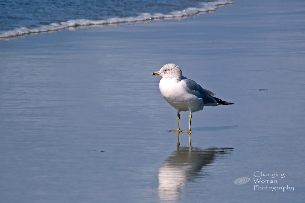 An adolescent Ring-billed seagull, sporting adult plumage on his torso and wings while juvenile spotted plumage still adorns his head, stands at the shoreline and studies the waves' ebb and flow.  The mirror-like surface of wet sand at the bird's feet displays his reflection.  Occupying a beach that is the border between earth and ocean, the adolescent seagull also inhabits a moment in time that is the threshold between his immaturity and his adulthood.