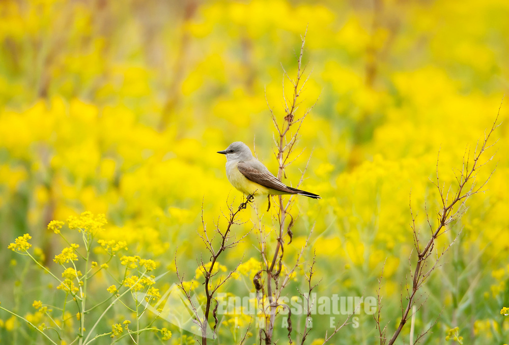 Western Kingbird very common in the western United States feeds on insects that it catches in midair.