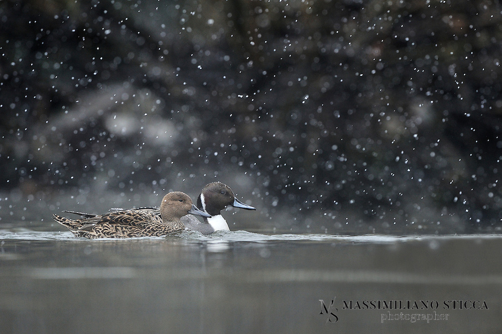 The Pintail or Northern Pintail (Anas acuta) is a duck with wide geographic distribution that breeds in the northern areas of Europe, Asia and North America. It is migratory and winters south of its breeding range to the equator. Unusually for a bird with such a large range, it has no geographical subspecies if the possibly conspecific duck Eaton's Pintail is considered to be a separate species.<br /> <br /> This is a large duck, and the male's long central tail feathers give rise to the species' English and scientific names. Both sexes have blue-grey bills and grey legs and feet. The drake is more striking, having a thin white stripe running from the back of its chocolate-coloured head down its neck to its mostly white undercarriage. The drake also has attractive grey, brown, and black patterning on its back and sides. The hen's plumage is more subtle and subdued, with drab brown feathers similar to those of other female dabbling ducks. Hens make a coarse quack and the drakes a flute-like whistle.<br /> <br /> The Northern Pintail is a bird of open wetlands which nests on the ground, often some distance from water. It feeds by dabbling for plant food and adds small invertebrates to its diet during the nesting season. It is highly gregarious when not breeding, forming large mixed flocks with other species of duck. This duck's population is affected by predators, parasites and avian diseases. Human activities, such as agriculture, hunting and fishing, have also had a significant impact on numbers. Nevertheless, this species' huge range and large population mean that it is not threatened globally.