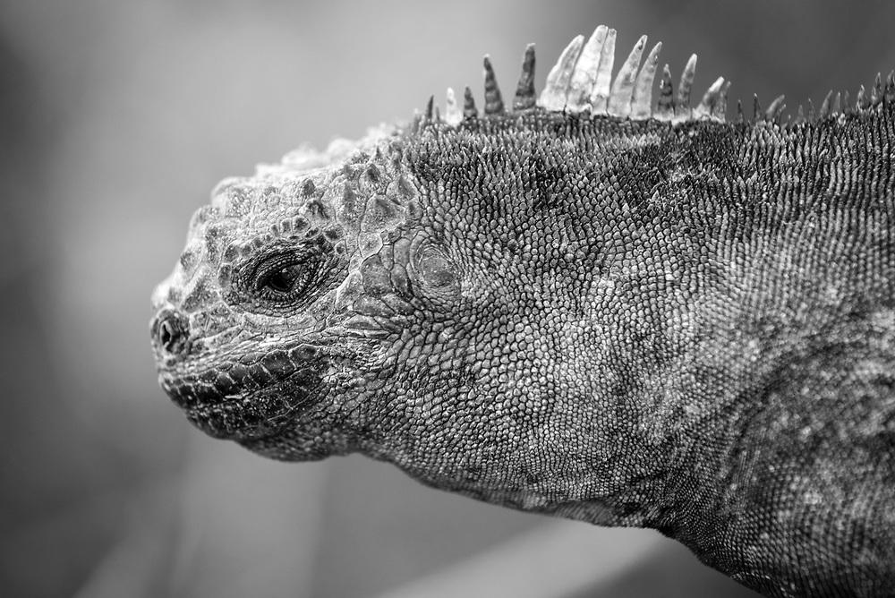 Marine iguana (Amblyrhynchus cristatus) on Isabela Island, Galapagos Islands, Ecuador.