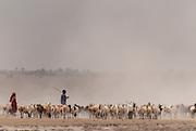 Domestic sheep feeding in Amboseli, Amboseli National Park, Kenya