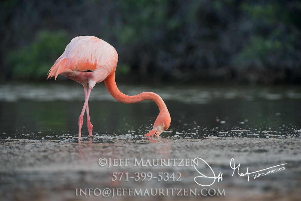 An American flamingo feeds in a brackish lagoon on Rabida island in the Galapagos archipelago of Ecuador.