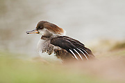 Female hooded merganser with hood contracted at the Wildfowl and Wetlands Trust centre at Slimbridge.
