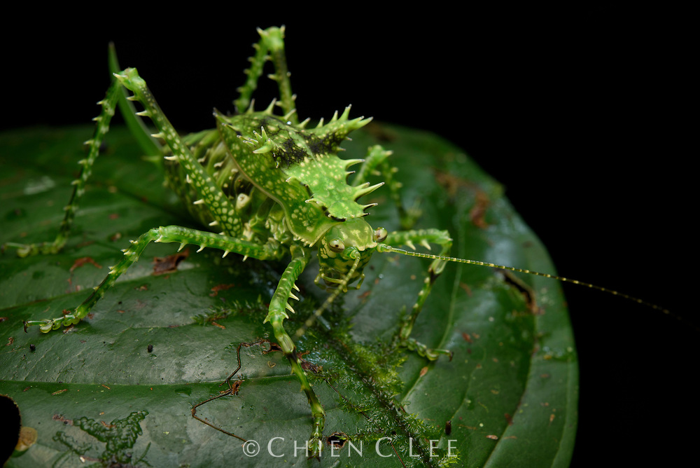 Spiny helmeted katydid (Sasima sp.) from the rainforest of southern New Guinea. The bristly armaments on this juvenile specimen serve not only to deter predators, but also to disguise the insect in the mossy forest understory. Helmet katydids (Phyllophorinae) comprise some of the world's largest species.