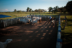Dec. 14, 2011 - Yopal, Colombia. A llaneros (cowboys) catches a cow in the yard. © Nicolas Axelrod / Ruom