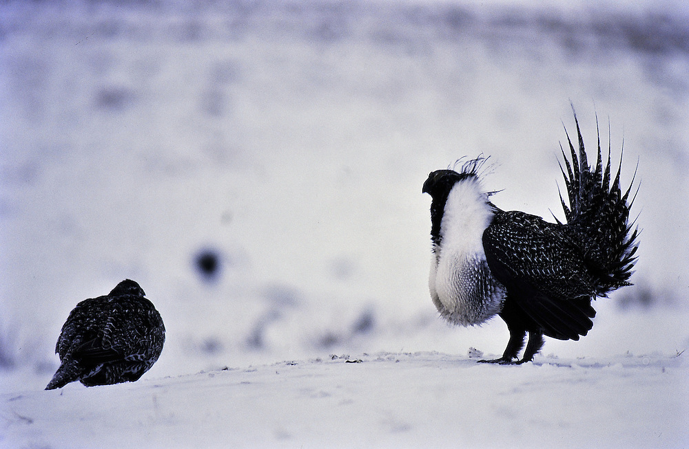 Male grouse displaying in snow. Colorado