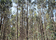 AUSTRALIA - BEDDELUP A general view Karri Trees in  Western Australia. 12/01/2010. STEPHEN SIMPSON...