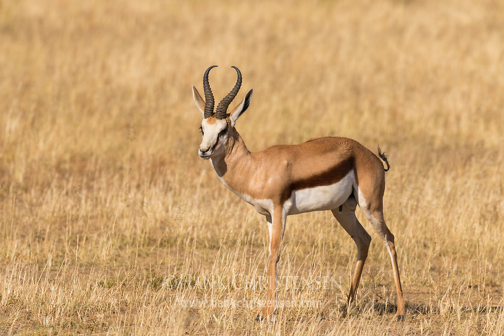 A springbok walks through the short grasses of a savannah, Naan Ku Se Wildlife Sanctuary, Namibia.