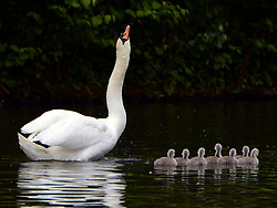 © Licensed to London News Pictures. 16/05/2012. Chiswick, UK The father stretches in front of his seven cygnets. A family of Mute swans and their brood of 7 Cygnets explore a lake in Chiswick this morning. The birth of cygnets traditionally heralds the start of summer in the UK. Photo credit : Stephen Simpson/LNP