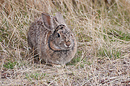 A Mountain Cottontail (Sylvilagus nuttallii) at the Malheur Field Station, Harney County, Oregon.