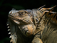 Green Iguana enjoying a moment's sun in the rainforest. Selva Verde Lodge & Rainforest Reserve, Costa Rica.