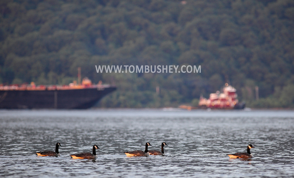Cornwall-on-Hudson, New York - Canada geese and a tugboat pulling a barge head down  the Hudson River at sunset on June 15, 2011.