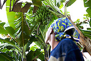 Alice Mogire inspects some bananas to see if they are ripe for picking, Kisii, Kenya.