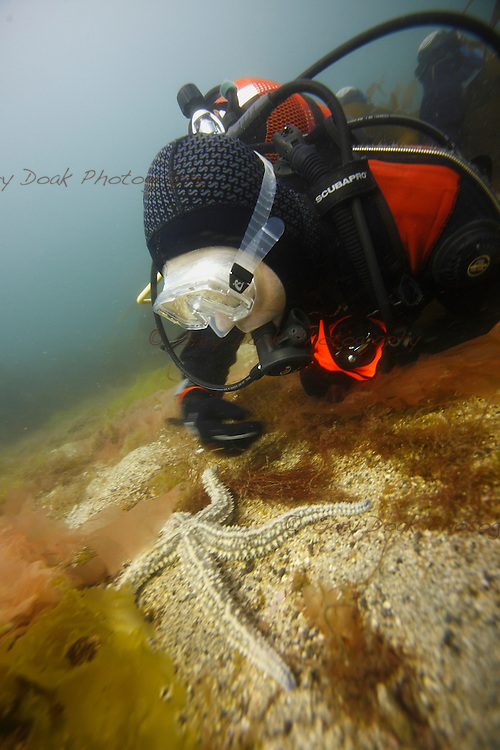 A diver takes a close look at a spiny starfish. West Coast of Scotland.