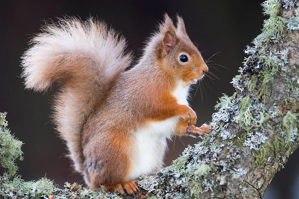 Red squirrel on alder bough, Scotland.
