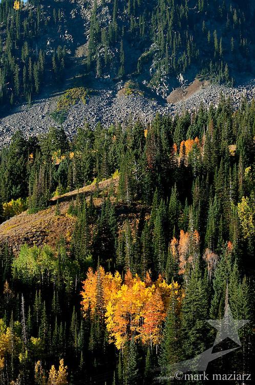 autumn (fall) colors in aspen forest in Bonanza Flats, above Park City, UT