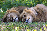 Two male lions rest in the shade in Tanzania, Africa.
