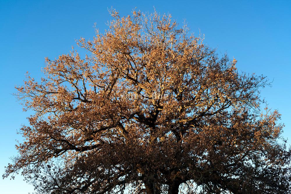 crown of a big oak tree with brown leaves