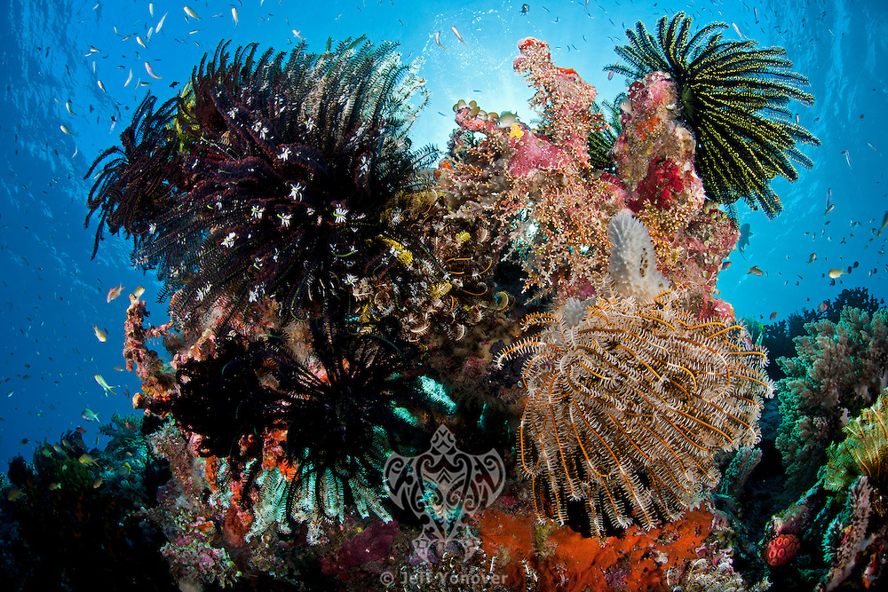Coral Head with Feather Stars and Soft Corals<br /> <br /> shot in Indonesia