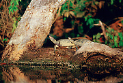 Pair of Yellow Spot Signet Turtles on  log in Lake Sandoval, Peruvian Rainforest, South America