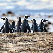 A group of endangered African penguins (Spheniscus demersus) pausing before heading out to sea in the early morning to go hunt for fish