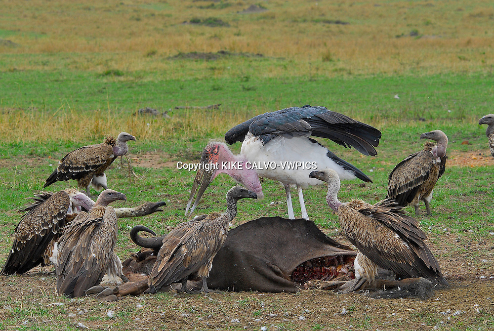 Ruppells Griffon vulture ( Gyps rueppelli ) fighting with a stork, and feeding on the carcasus of a dead wildebeest (gnu) Masai Mara National Park. Kenya. Africa