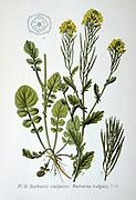 Common Bittercress or Yellow Rocket (Barbarea vulgaris), biennial wild herb of Brassica family native of Europe.  From Amedee Masclef 'Atlas des Plantes de France', Paris, 1893.