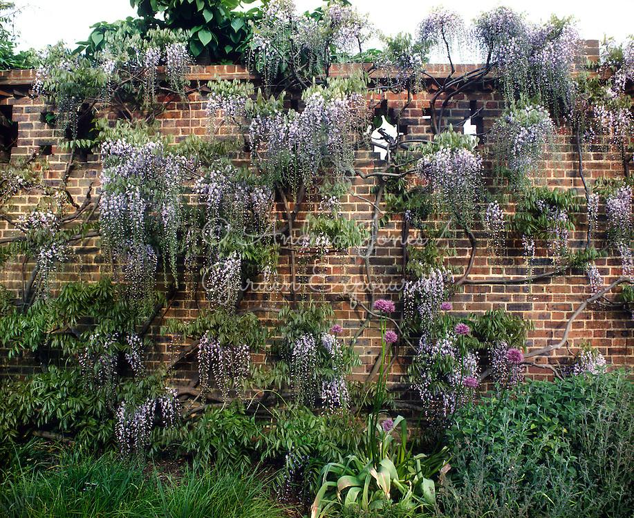 Wisteria floribunda (Japanese wisteria) at RBG Kew