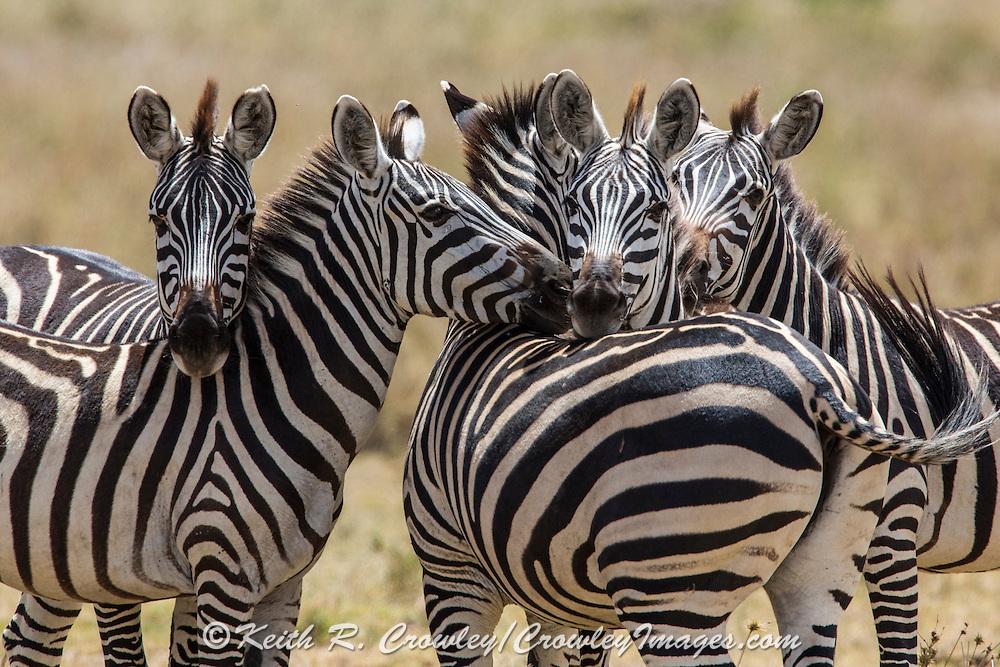 Zebras in east African habitat