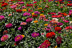 Field of zenia flowers at the California Mid State Fair, Paso Robles, California, United States of America