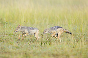 Black-backed Jackal<br /> Canis mesomelas<br /> 8-9 month old pup(s) playing<br /> Masai Mara Triangle, Kenya