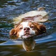 English Springer Spaniel swimming