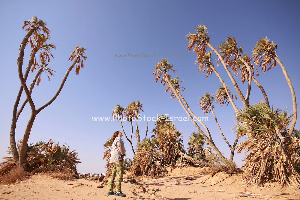 Hyphaene thebaica, with common names doum palm and gingerbread tree, is a type of palm tree with edible oval fruit. It is native to the Nile valley in Egypt and Sudan, and in riverine areas of northwestern Kenya. Photographed in the Arbah Israel the northern reach of this tree