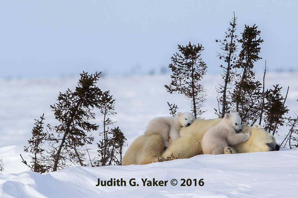 Polar Bear Mom and Cubs