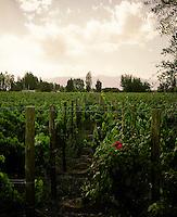 Malbec vines at Finca La Heredad in the Luján de Cuyo area of Mendoza, Argentina. The  farm's vines surround the boutique hotel Club Tapiz.