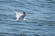 A herring gull flies along the beach near Port Townsend.