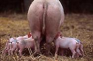 DEU, Deutschland: Hausschwein (Sus Scrofa f. domestica), Sau säugt ihre Ferkel im Stehen, keine normale Stellung zum Säugen, normalerweise liegt die Sau, Sorgwohld, Mecklenburg-Vorpommern | DEU, Germany: Domestic pig (Sus scrofa f. domestica), sow nursing it's group of piglets while standing, not common nursing position, normally sows are laying, Sorgwohld, Mecklenburg-Vorpommern |