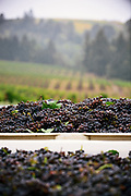 Rainy day vineyards willamette valley